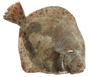 Poisson : le turbot